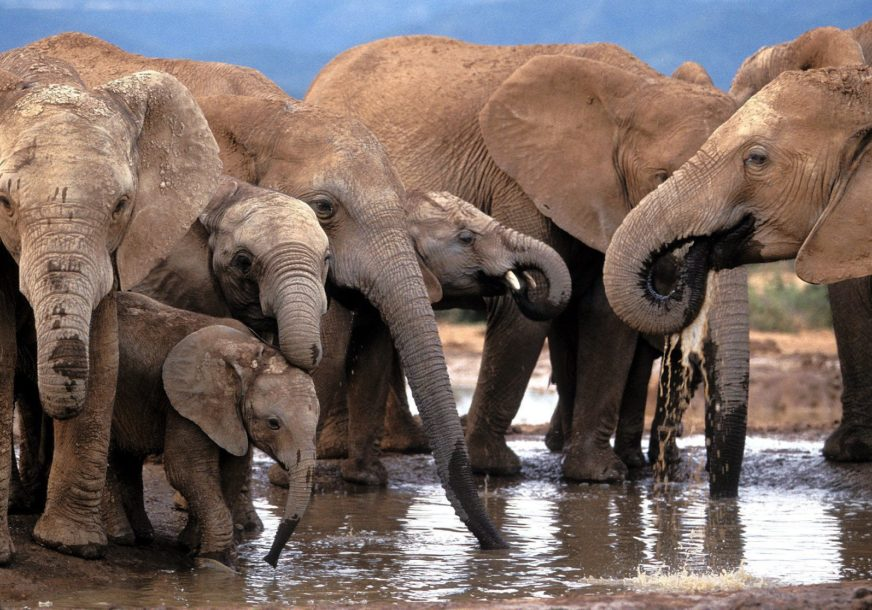 POVEĆAN BROJ NESREĆA IZMEĐU LJUDI I ŽIVOTINJA Namibija oglasila prodaju 170 zaštićenih divljih slonova