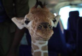 Tatjana je dobila NEOBIČAN POKLON: Žirafa Kiko je u Keniji, ali je pronašla SVOJ PUT DO BANJALUKE