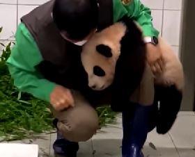 DA SE RASTOPITE Beba Panda grli radnika zoo vrta (VIDEO)