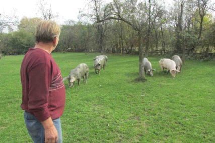IMA LI RAČUNICE  Triufun se bavi uzgojem svinja, ali zbog niskih cijena više nema zarade