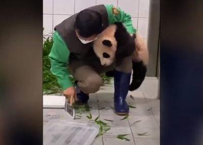 Panda izazvala osmijeh na licu: Čuvar nije mogao da se odvoji od slatke životinje (VIDEO)