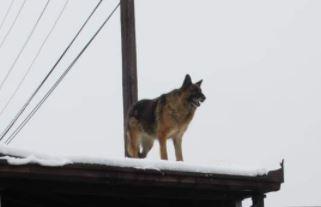 PRIZOR KOJI KIDA SRCA  Pas i dalje čeka vlasnika koji je preminuo, stoji na krovu i ŽUDI ZA POZNATIM GLASOM (FOTO)