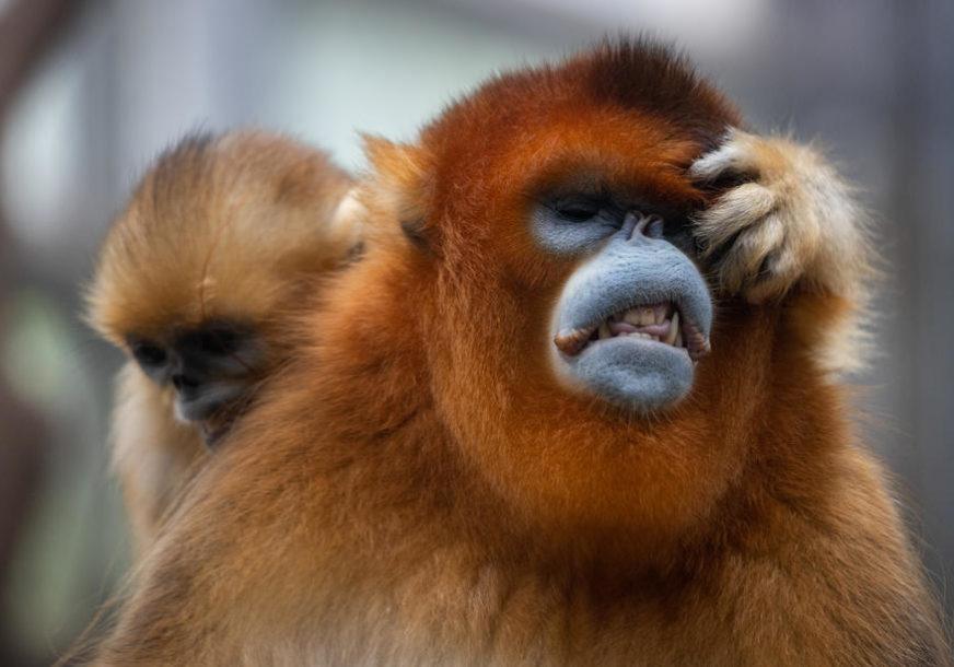 """""""OVO JE EKSTEMNO RIJETKA SITUACIJA"""" Mladunče orangutana je ostalo bez majke, a onda je Berani preuzeo brigu o njemu (FOTO)"""