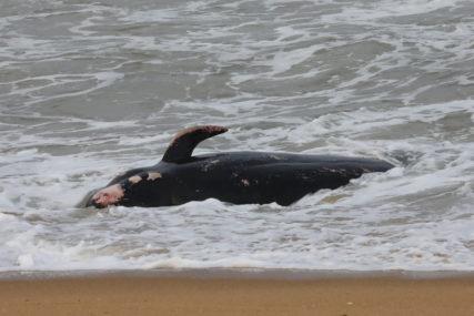 VOLONTERI SPASAVAJU NASUKANE KITOVE Pokušavaju iskoristiti plimu da životinje vrate u vodu