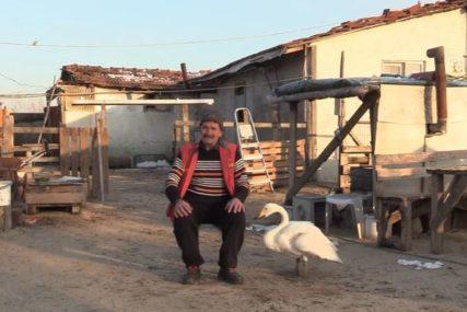 RODILO SE PREDIVNO PRIJATELJSTVO Redžep je prije 40 godina spasao povrijeđenu labudicu, ona mu to nije zaboravila (FOTO)