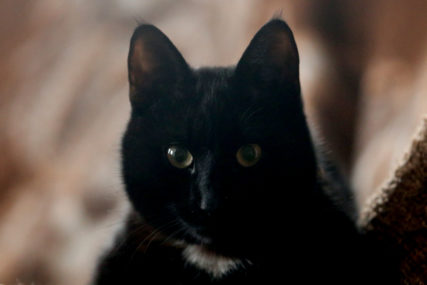 PRVI OVAKAV SLUČAJ U Italiji potvrđen britanski soj kod jednog mačka
