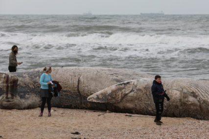 SAMO TRI PREŽIVJELA Nasukalo se 45 kitova u Indoneziji