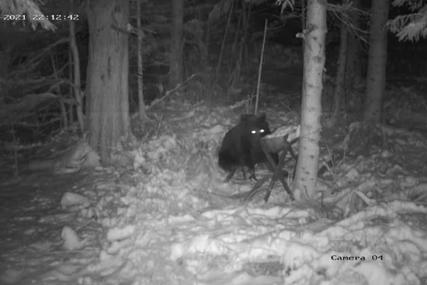 Borba sa jačima od sebe: Medvjeda Mališu je majka odbacila kada je imao dvije godine, za hranu se sam snalazi