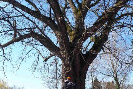 VIJEK I PO LIJEVČANSKOG KNEZA Na osjetljivom poslu orezivanja krošnje starog topolskog oraha