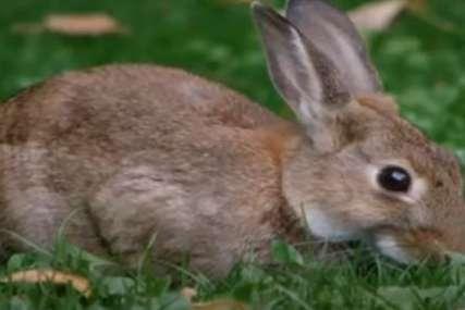 Star nekoliko sedmica, a mnogo toga je prošao: Mali zec proputovao stotine kilometara skriven u sijenu