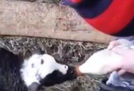 Snimak sa sela RAZNIJEŽIO SVE: Mališan hrani jedno jagnje, dok se ostali oko njih igraju (VIDEO)