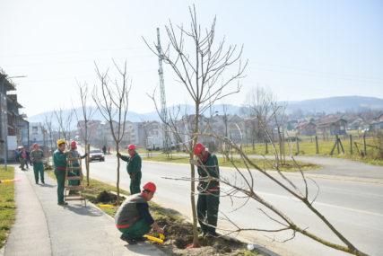 Završena proljetna sadnja stabala: Drvoredi bogatiji za 200 novih sadnica