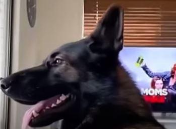 Dante zapalio internet: Urnebesna reakcija penzionisanog policijskog psa na riječ kokain (VIDEO)