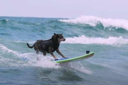 Drži Ginisov rekord: Ovaj pas jaše talase bolje od mnogih ljudi (VIDEO)
