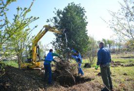 DOBIJAJU NOVI DOM Stabla iz centra grada sele na lokaciju novog parka na Banjalučkom polju (FOTO)