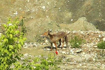 Leposava je htjela da mu jede iz ruke: Bliski susret muškarca i lisice prekinuo pas, životinja se uplašila i pobjegla