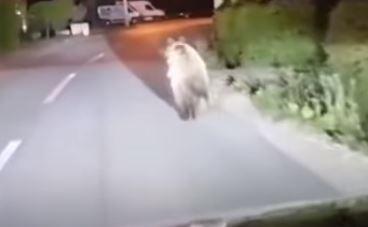 NEOČEKIVAN SUSRET U banjalučkom naselju Karanovac snimljen medvjed kako trči ispred automobila (VIDEO)