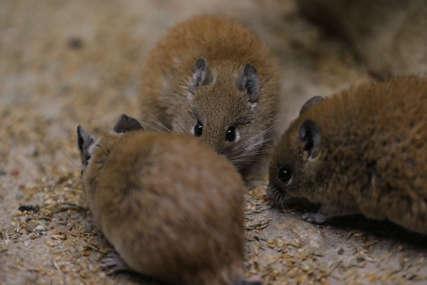 NEOČEKIVAN PROBLEM U ISTRI Velika najezda miševa u okolini Rijeke