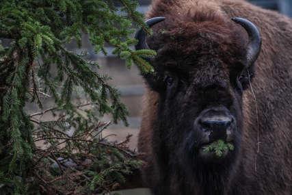 """""""Uništavaju vegetaciju i arheološka nalazišta"""" U Americi se više od 45.000 ljudi PRIJAVILO ZA LOV na bizone"""