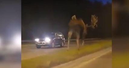 NEVJEROVATAN PRIZOR Ljudi u šoku gledali u životinju koja je šetala između dvije saobraćajne trake (VIDEO)