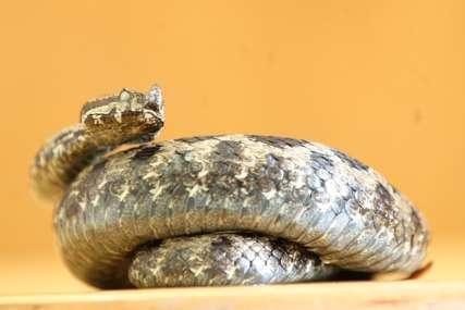 ZALUTALA U WC ŠOLJU Žena u toaletu zatekla ogromnu zmiju, za dlaku izbjegla ugriz (FOTO)