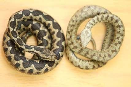 Zajedno se mogu naći samo na jednom mjestu: U Srpskoj registrovane tri vrste otrovnih zmija