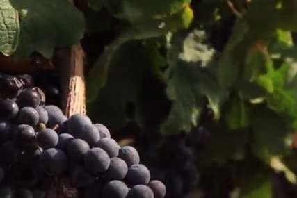 Povećano prisustvo pesticida: Zabranjen uvoz grožđa iz Albanije