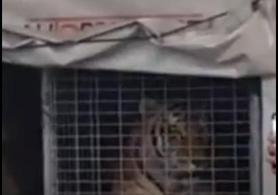 Kompanija nije znala šta se nalazi ispod cerade: Prevozio tigra na trajektu za Hvar (VIDEO)