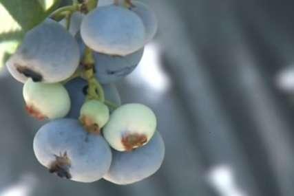 Borovnica čuva zdravlje stomaka, ali to nije sve: Ovo bobičasto voće gotovo da je idelano u ishrani dijabetičara
