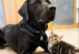 Ljubav na prvi pogled: Labrador usvojio sedam mačića (FOTO)