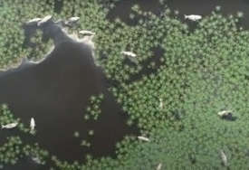 Ekocid kakav nisu vidjeli: Veliki pomor ribe na rijeci Karašica