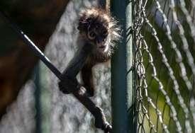 Nakon obračuna sa alfa mužjakom: Ženka majmuna prvi put vođa čopora u rezervatu