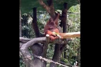 Snimak koji je nasmijao mnoge: Ženi ispale naočare u zološkom vrtu, majmun je odmah znao šta treba da uradi (VIDEO)
