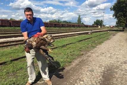 ORAO ZAUSTAVIO VOZ Nesvakidašnji događaj kod Sombora, bjelorepan završio u zoo vrtu
