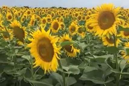 Mještani sela u šoku: Ukraden suncokret u vrijednosti od 216.000 KM