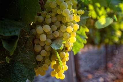 Vrijeme grožđa: Ova namirnica ima mnogo korisnih sastojaka za zdravlje