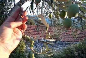 Masline ponovo caruju Hercegovinom: Biblijska voćka povezala Neum i Trebinje (FOTO)
