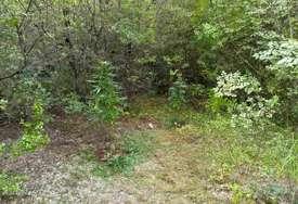 Policija traga za vlasnicima: Pronađena plantaža indijske konoplje kod Trebinja