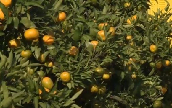 Konzumirajte mandarine SVAKI DAN: Pomažu čak i kod stresa, a evo zašto je narandžasta voćka još dobra