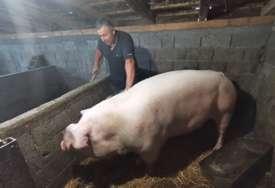 ŠARENA JE PRAVA REKORDERKA Ova krmača teži više od nevjerovatnih 500 kilograma i oprasila je u cugu 28 prasića