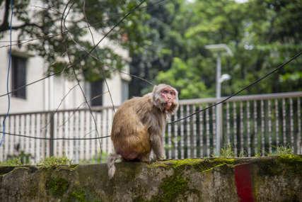 VRLO ČUDNA PLJAČKA Majmun čovjeku zgrabio svežanj iz ruke, pa bacao novac s drveta